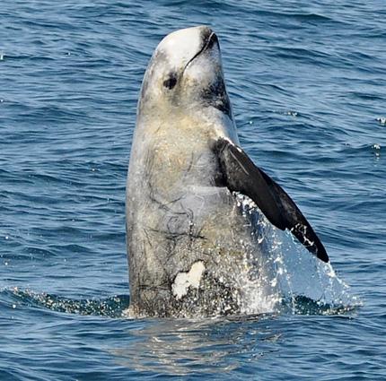 Breach de dauphin de risso