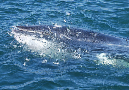 minke whale nourissage